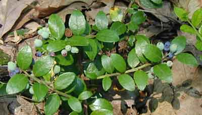 The Box Huckleberry has evergreen, leathery leaves and blue fruit.