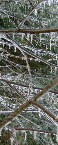 Ice drips all along the tree limbs.
