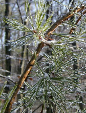 Every pine needle was coated with ice.