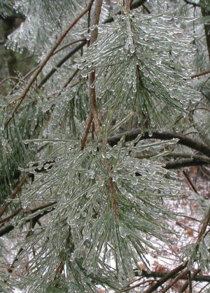 How did the ice manage to coat every square millimeter of these pine needles?