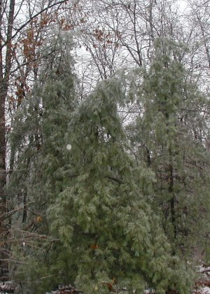 The boughs of white pine trees are bent to the ground with the weight of ice on every limb.