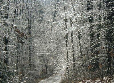 Sunlit icy trees.