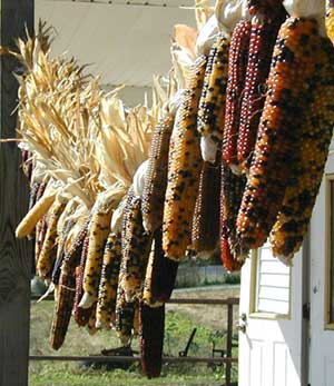 Indian corn hanging at the farmer's market.