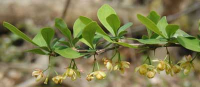 Yellow blooms of the Japanese barberry hang from the leaf axils.