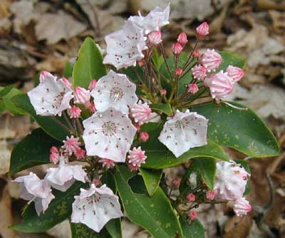 Other Mountain Laurel flowers are almost all white.