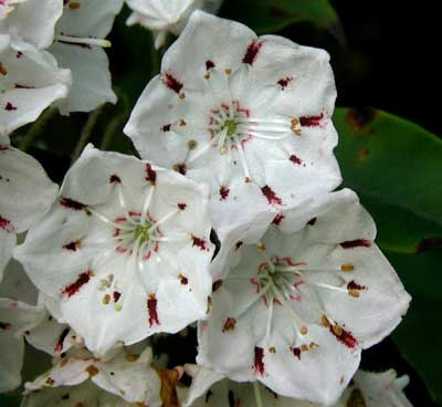 Some Mountain Laurel flowers have spots of deep red color transferred from the anthers.