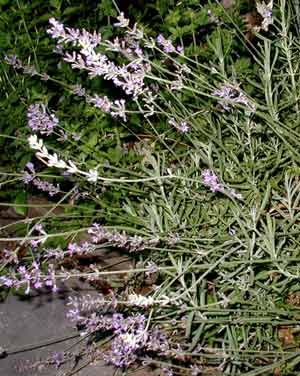 Lavender blooming next to the oregano.