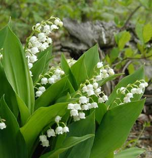 Lily-of-the-valley is still blooming and giving off its sweet scent.