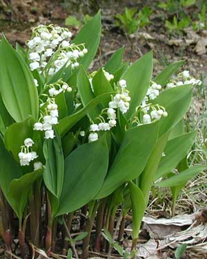 Lily-of-the-Valley blooms are open for all the passersby to smell.