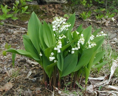 Lily of the Valley in bloom.