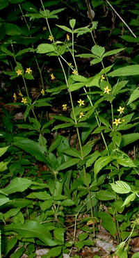 Several whorled loosestrife along the lane.