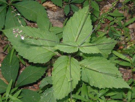 Lopseed plant.