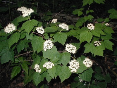 Maple-leaved viburnum flowering in the woodlands.