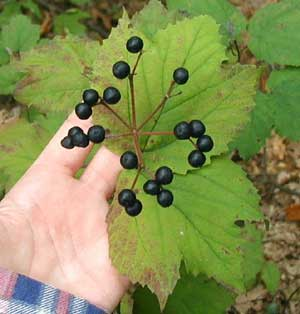 Black berries of Maple-Leaved Viburnum.