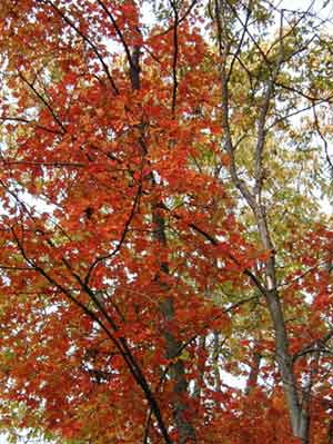 Near the edge of the woods a maple tree bares its trues colors.