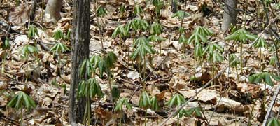 Mayapple, also known as American Mandrake, is a perennial woodland favorite.