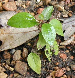 New Jersey Tea leaves showing their characteristic three parallel veins curving towards the leaf tips.