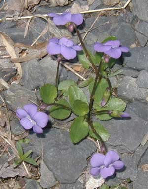 Oval-shaped basal leaves are short on these violets growing in gravel.