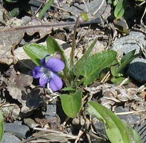 Northern Downy Violet is a small spring-blooming violet.