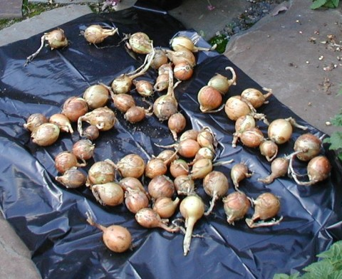 Freshly harvested Walla Walla onions.