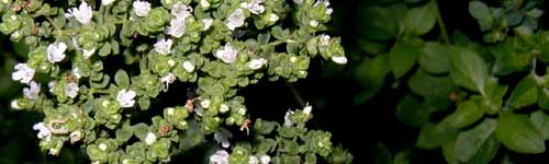 Flowering tops of oregano with very tiny white blossoms and tiny leaves.