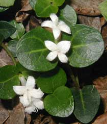 The trumpet-shaped flowers may be pinkish to white and usually have four petals.
