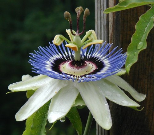 Closeup of passionflower bloom.