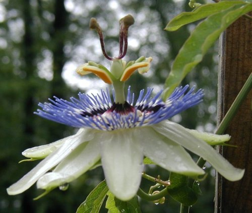 Side view of the passion-flower bloom.