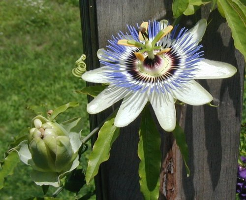 Open passion flower bloom.
