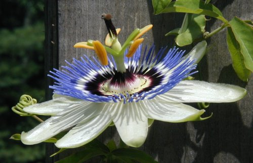 Passion flower closeup.