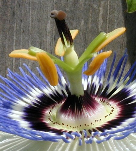 Stigma and style of the passion flower.