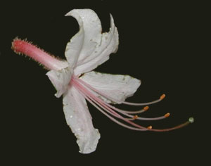 Close up image of pink azalea flower showing the long stamens and pistil.