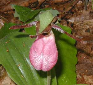 Fuzzy Pink Lady's Slipper showing short hairs and the deeply cleft, hollow pouch.