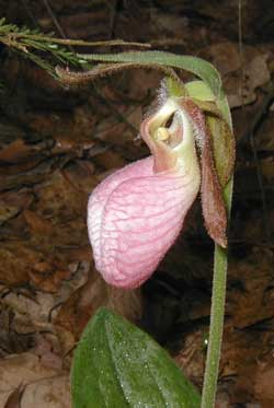 Side view shows the heavily veined pouch of the Moccasin Flower.