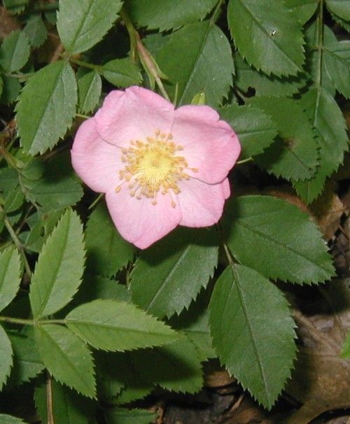 Pasture rose in soft pink and yellow.