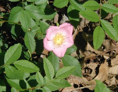 Pink, five-petaled pasture rose at the edge of the woods.