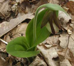 Leaves of the Pink Lady Slipper are more noticeable at first glance.