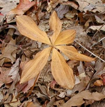 Pogonias in autumn.