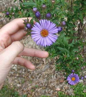 Pretty purple aster begins blossoming.