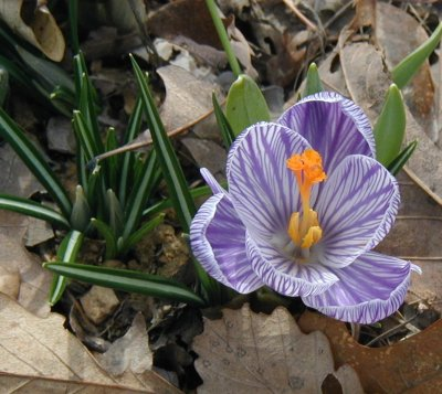 Purple and white crocus blooming.