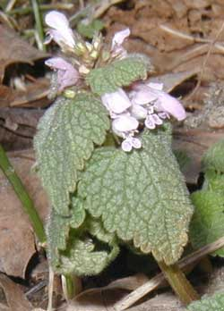 Irregular in shape the purple dead nettle flowers are lilac in color.