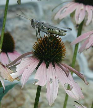 Grasshopper shopping for a little lunch among the purple cone flowers.