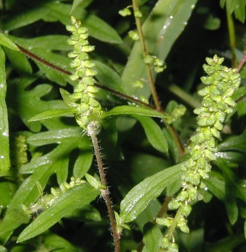 Common ragweed flowers.