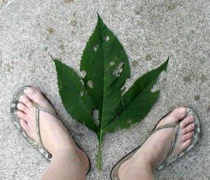 Tri-lobed leaf of Giant Ragweed.