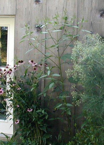 Giant Ragweed.
