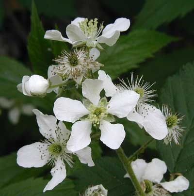Raspberry, Rubus sp., flowers in different stages of development.