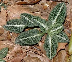 Rattlesnake-plantain leaves are easily noted for the white lines that criss-cross a dark green background.