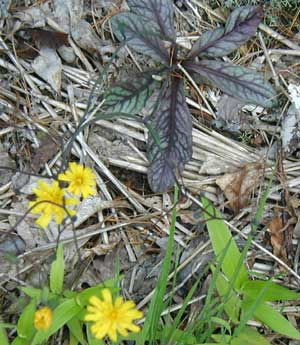 Rattlesnake-weed flowers are held about two feet above the basal rosette of purple-veined leaves.