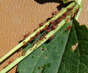 When conditions are right for it, aphids breed without sex so many, many young can be produced in a short amount of time.