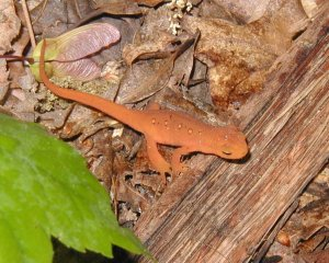 Red-spotted newt walking in the woods.